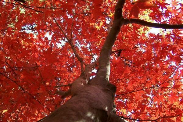 Maple at Mast Arboretum
