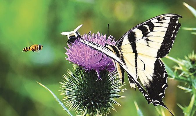 This flower was a popular feeding spot for bee and butterfly alike when Coeburn photographer R.J. Rose took notice.  R.J. ROSE PHOTO