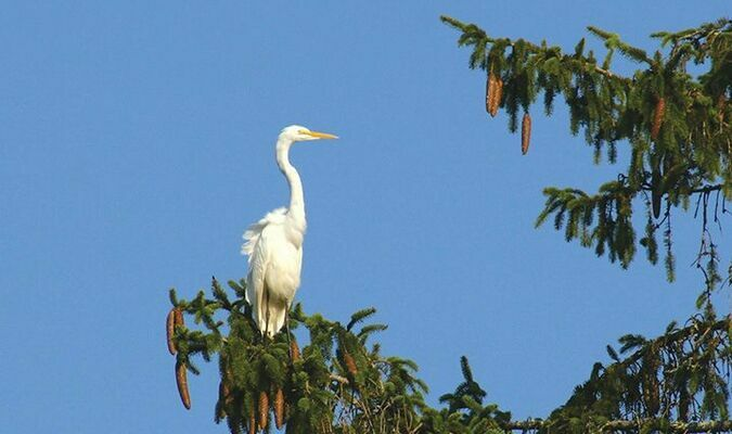 Neighbors Lev Smith and Josh Wyatt spotted this great egret perched in a tall pine tree on Ninth Street in Norton. Many species live primarily in shallow aquatic areas, like ponds, streams, lakes, marshes, wetlands and more. They search for food in shallow waters, both saltwater and freshwater. Some species also live in agricultural fields, flooded meadows and even dry areas like farms.  MYRA MARSHALL PHOTO