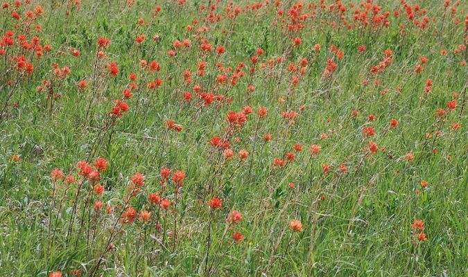 Photos by Richard Cooper This display of Indian paintbrush is located nine miles west of Lamar at U.S. 160 and 80th Lane. It is one of the densest displays at that location in years.