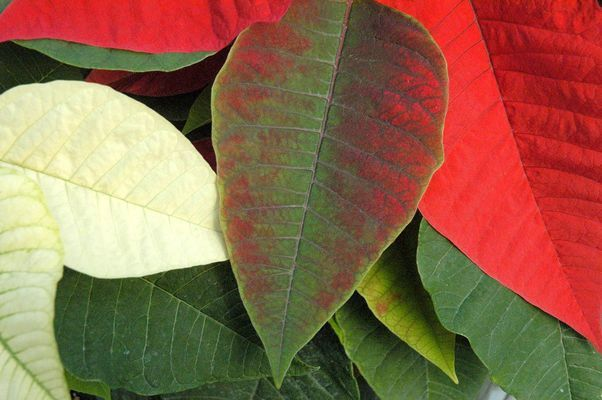 Poinsettia bract beginning to change color. Photo by Debbie Johnson.