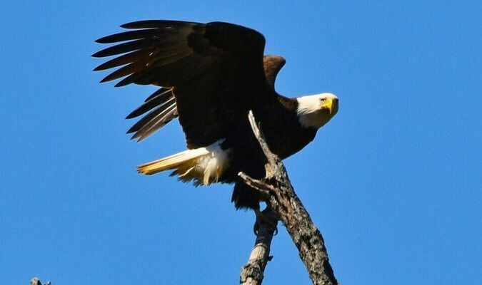 An eagle perched high above the river in Marion County. (photo by Gloria Straube)