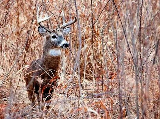 Preliminary data from MDC shows that deer hunters in Missouri harvested 14,555 deer during the alternative-methods portion of the firearms deer season, Dec. 26 - Jan. 5.            (MDC Photo)