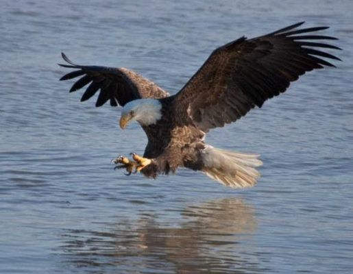 Celebrate Eagle Days with MDC, the U.S. Army Corps of Engineers, World Bird Sanctuary of St. Louis, and the City of Clarksville Jan. 26.