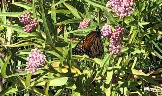 Monarch in the butterfly garden.