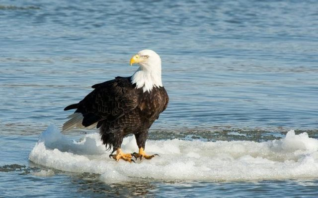 Missouri is one of the leading lower 48 states for bald eagle viewing during winter. Discover nature with MDC through Eagle Days events around the state or enjoy watching bald eagles on your own.