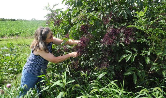 Tina Pickett clips a clump of berries from an elderberry bush growing on the edge of the pasture behind the house.