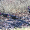 Turkeys spotted west of Perry on Friday, March 6.
