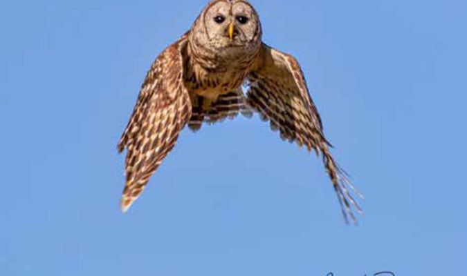 Barred Owl in flight…