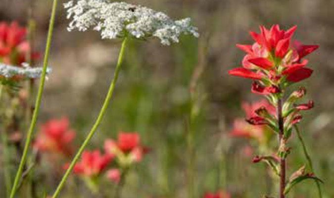 Queen Anne's lace and Indian paintbrush