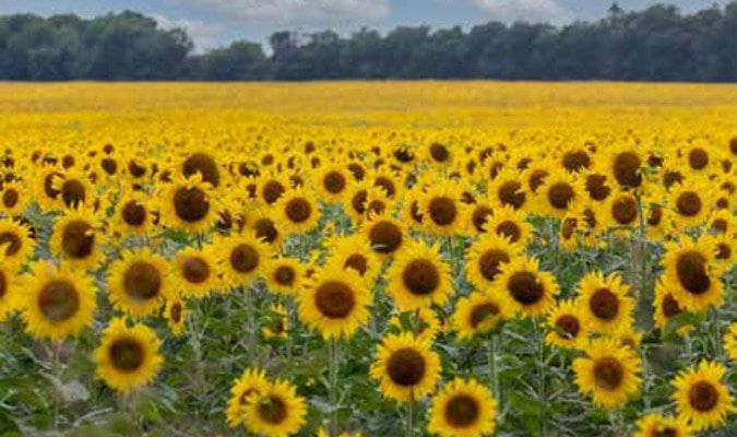 A field of sunflowers turning to face its namesake.