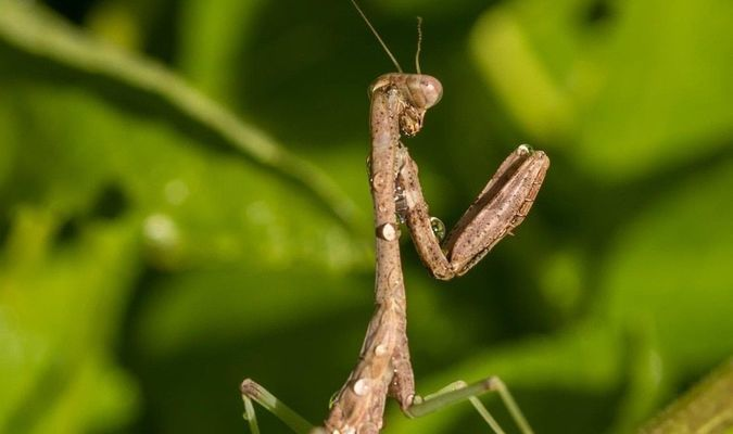 "The praying mantis is named for its prominent front legs, which are bent and held together at an angle that suggests the position of prayer. By any name, these fascinating insects are formidable predators. They have triangular heads poised on a long ""neck,"" or elongated thorax. Mantids can turn their heads 180 degrees to scan their surroundings with two large compound eyes and three other simple eyes located between them."