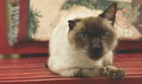 2020 is the year of the Siamese. Raider is yet another handsome Siamese Cat surrendered by his owner. He is 12 years old and still has a lot of love left to give. Raider weighs in at 14 pounds. He is neutered and ready to ride to his new home.