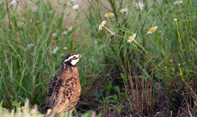Bobwhite quail need habitat with a mix of grasses, wildflowers, and shrubby thickets to provide the food and shelter they need to thrive. Good brood rearing cover with insects to feed on and open ground for movement are especially important for brood rearing.