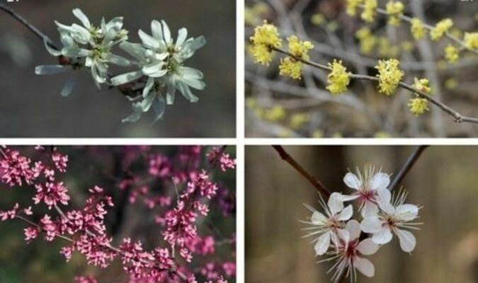 Missouri's early spring-flowering trees and shrubs include serviceberry (1), spicebush (2), redbud (3), and wild plum (4).