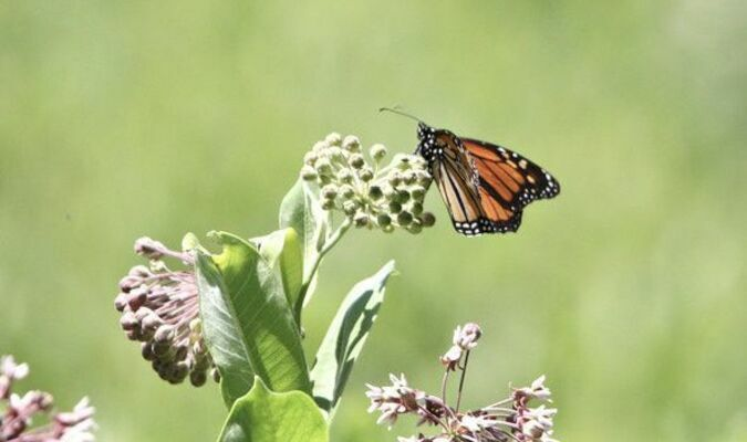 A monarch butterfly rest on milkweed, a favored host plant for eggs and larvae. MDC's virtual program on May 15 will teach how to participate in butterfly surveys that contribute to scientific data about them.