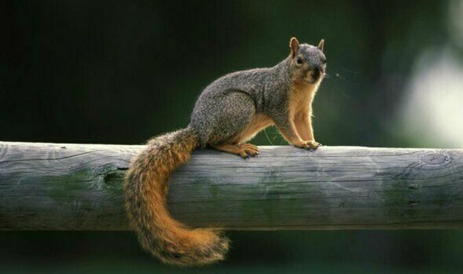 Open season on fox squirrels (pictured) and gray squirrels begins May 22 and runs through Feb. 15, 2022.