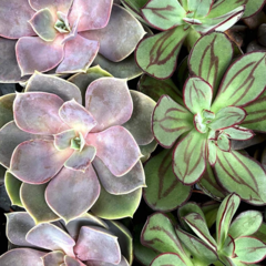 Pink Picasso Paint By Numbers - Such A Succulent