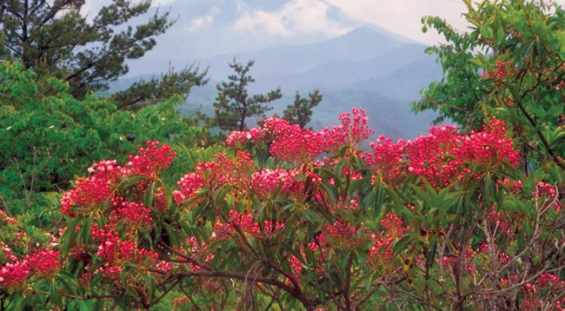 Rockbridge-County-VA-Mountain-Laurel