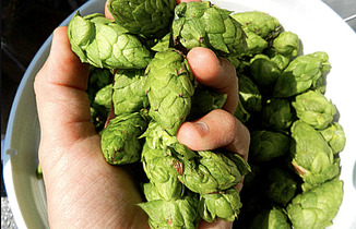Hops vines footer2 local flavor avl visit explore beer asheville