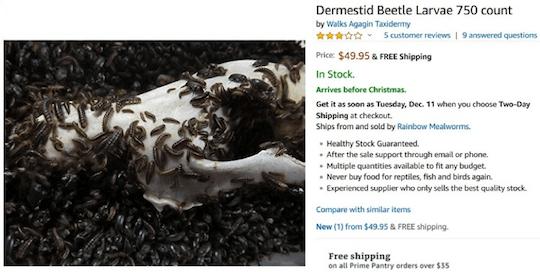 Dermestid Beetle Larvae