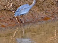Blue Heron Stalking Fish