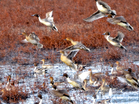 Migratory Birds at HNWR