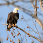 Texoma Bald Eagle 2-3-2018