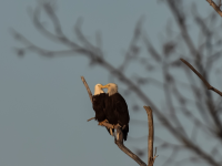 Texoma Bald Eagles