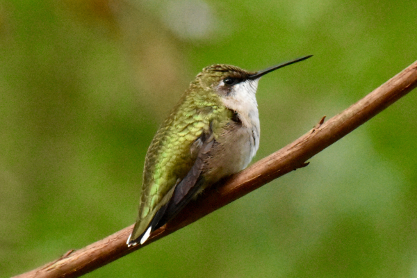 Last hummingbird to migrate