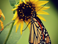 Monarch Butterfly Texoma