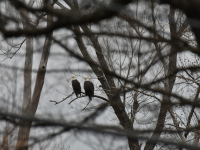 American Bald Eagle pair