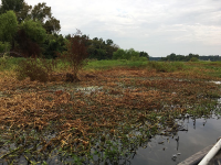 Failed efforts to control hyacinth on Lake Fork