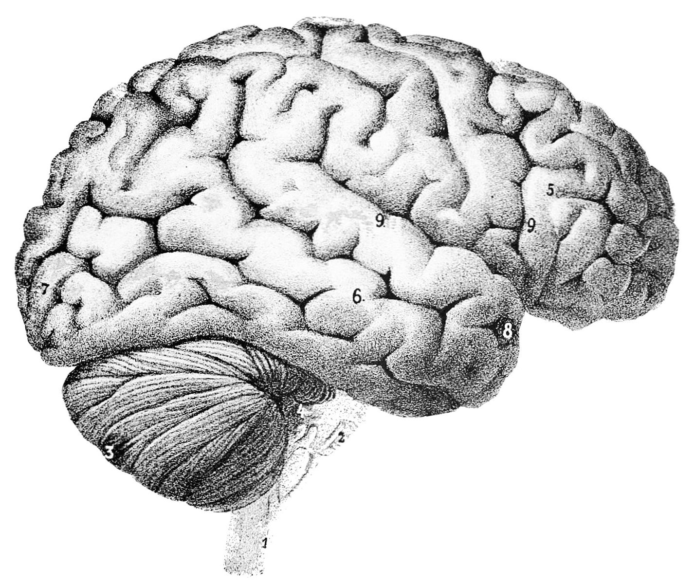 Outer surface of the human brain