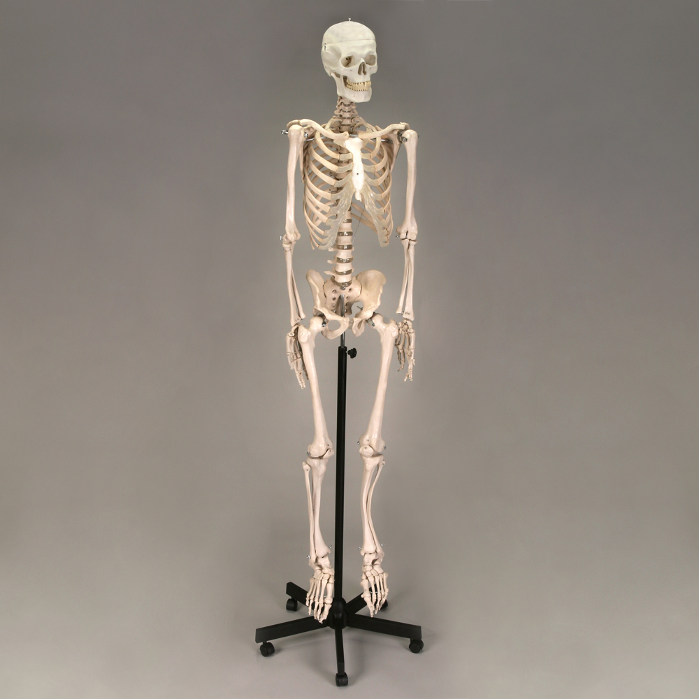 Image of human anatomy skeleton.