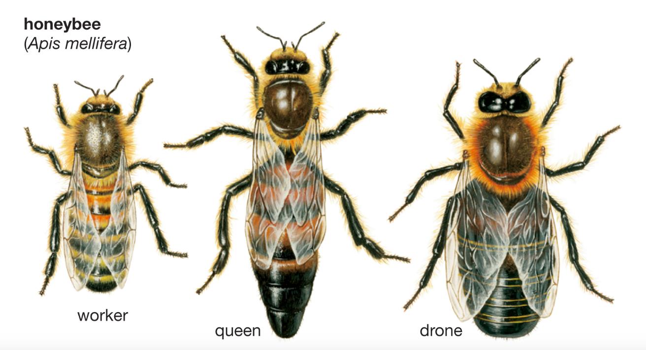 Honey Bee Biology - LIS 511 (2016 Fall): Beekeeping - LibGuides at ...