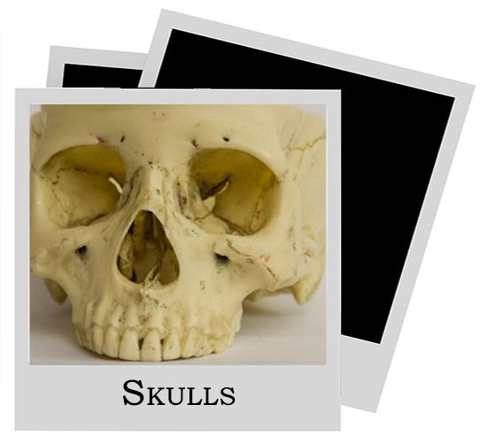 Human Model Skulls