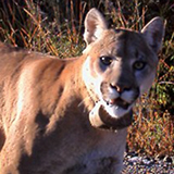 Close up of cougar head