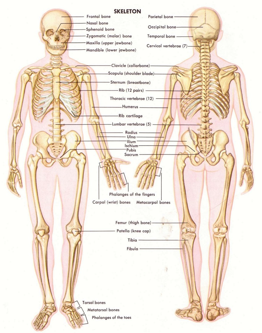 Bones And Modelsopen Access Human Anatomy And Physiology