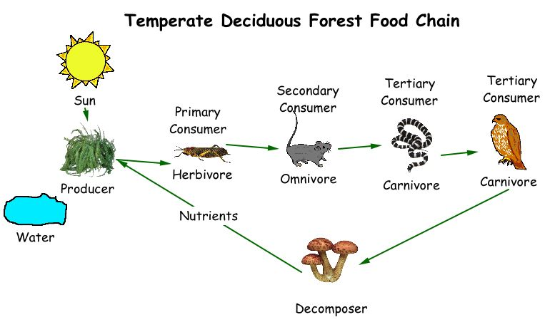 food chain - a food chain is the series of organisms showing feeding  relationships  a food chain almost always begins with a green plant  (producer) which is