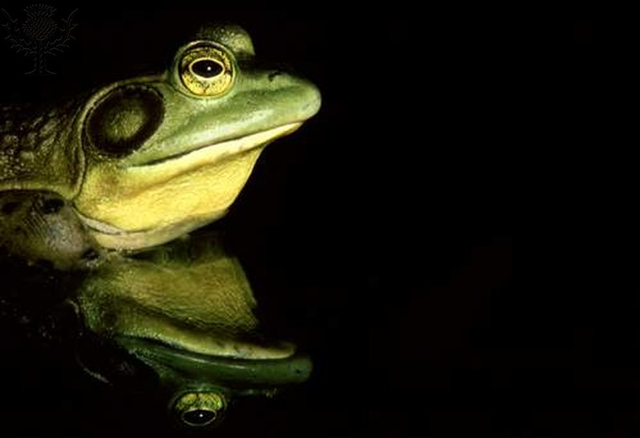 Bullfrog reflection - Britannica ImageQuest