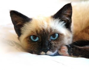 Cross Siamese cat