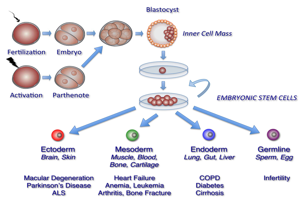 Stem Cell Research News