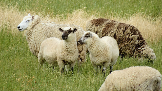 Image of 5 sheep in a field.