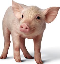 pig.jpg (3008×2000)