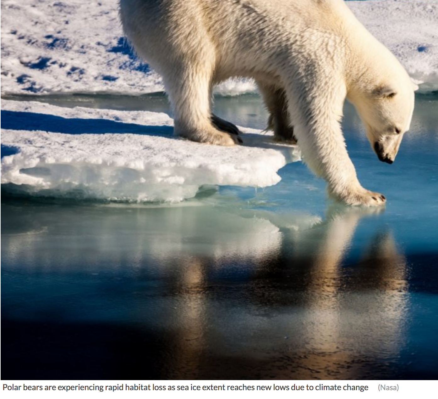 Polar bears are experiencing rapid habitat loss as sea ice extent reaches new lows due to climate change