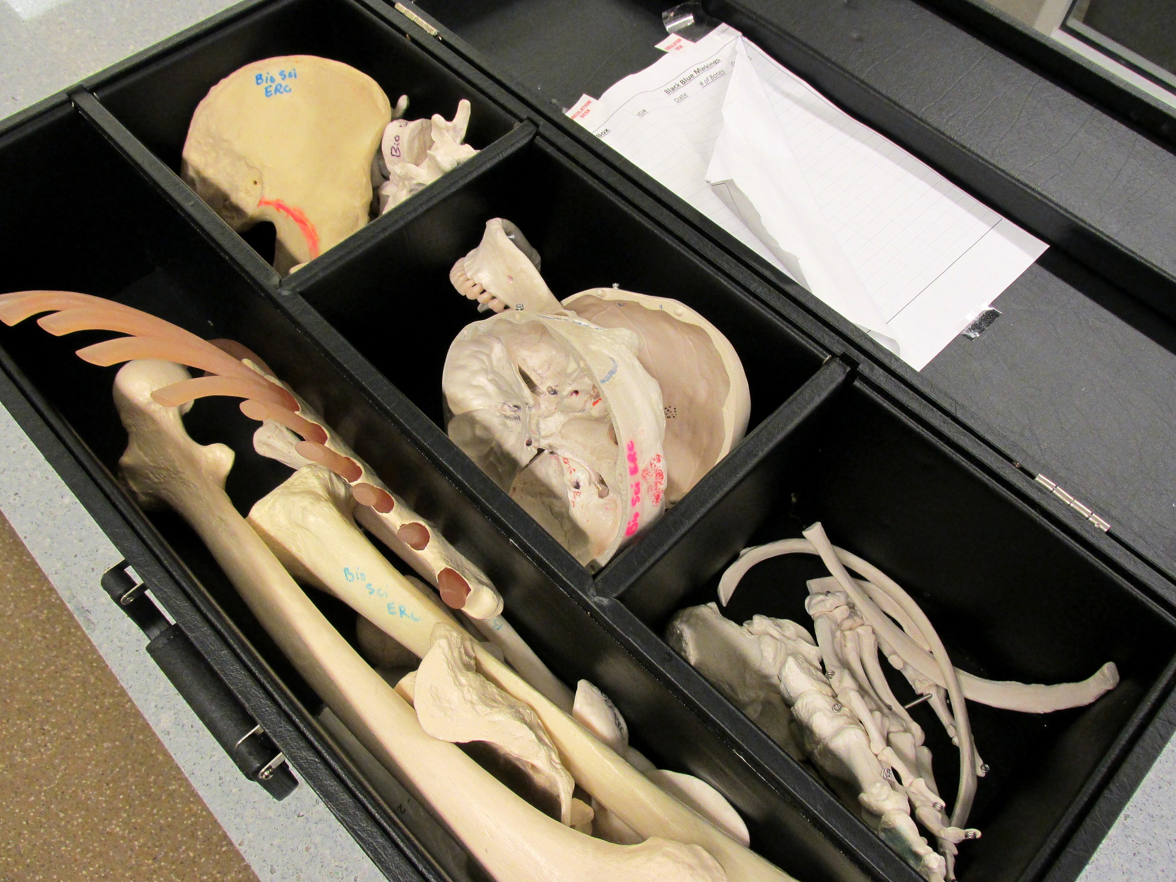 Columbus Campus Library Models Anatomy Models Research Guides At