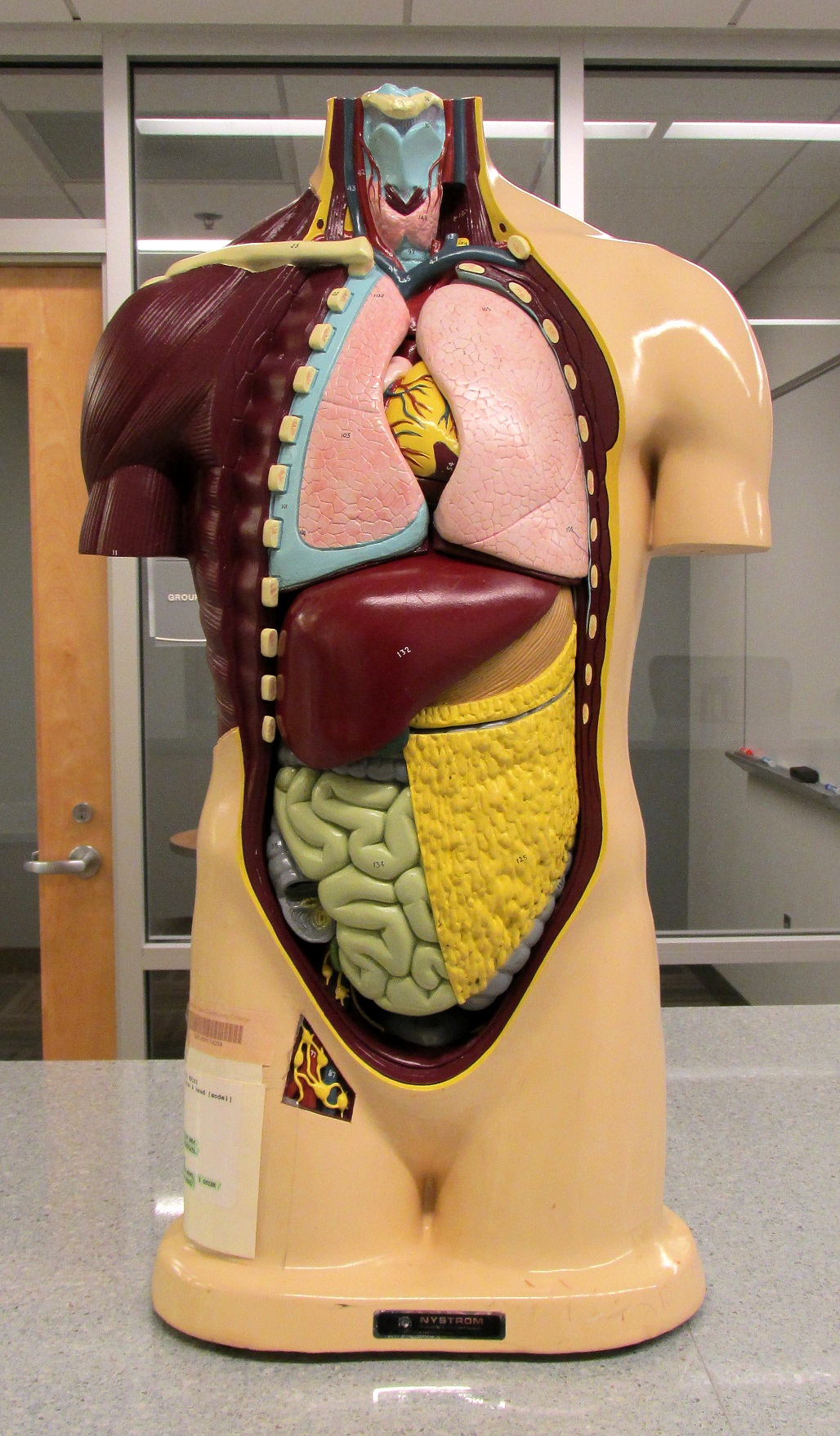 Columbus Campus Library Models - Anatomy Models - Research Guides at ...