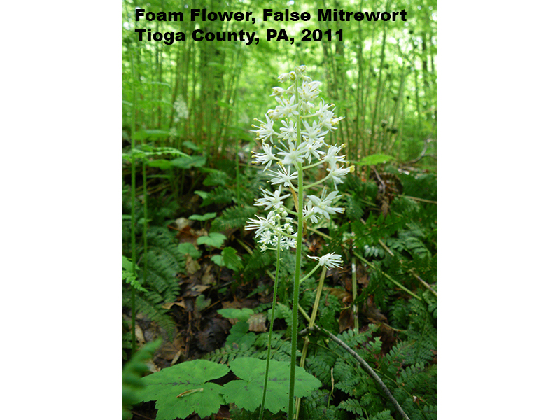 Foam Flower, False Mitrewort, Tioga County, PA 2011
