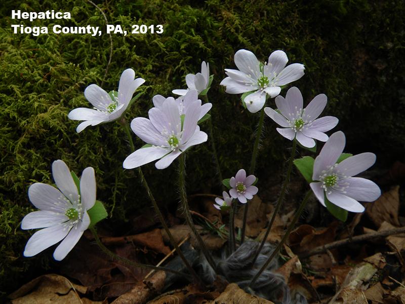 Hepatica flowers, Tioga County, PA 2013